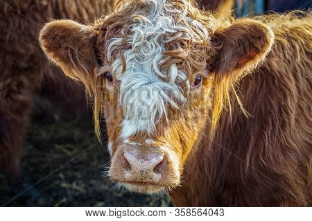 Portrait Of A Very Cute Brown Cow With Funny White Fur