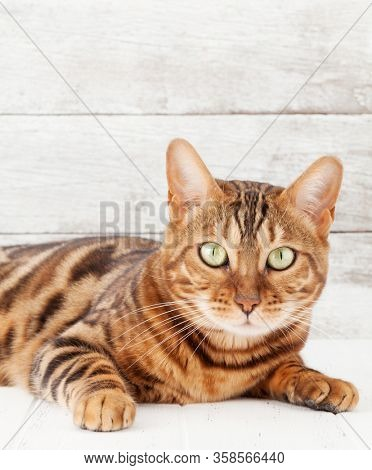Bengal cat sitting on white wooden floor in front of wall with copy space