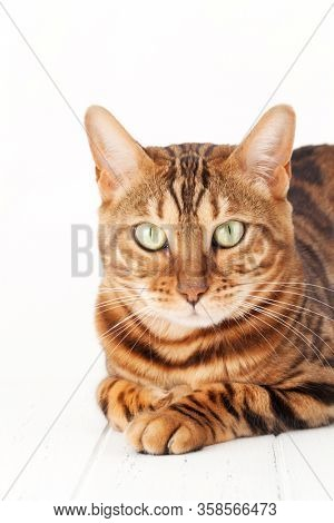Bengal cat sitting on white wooden floor. Isolated on white background