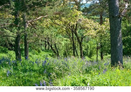 Acacia Trees In Full Blossom At Countryside Landscape