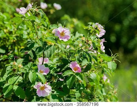 Pink Flowers Rose Hips On The Bush. Flowering Dog-rose