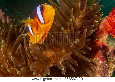 Clownfish or Anemonefish tropical fish in anemone