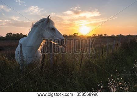 Horse Of Camargue At Sunset, South France