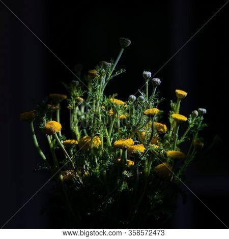 Ouquet Of Spring Beautiful Fresh Field Yellow Flowers Tansy On The Wooden Table From The Top, Tanace