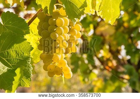 Bunch Of Ripe Pinot Gris Grapes Growing On Vine In Organic Vineyard With Copy Space On Right