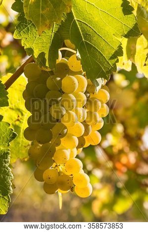 Bunch Of Backlit Pinot Gris Grapes Growing On Vine In Vineyard With Blurred Background