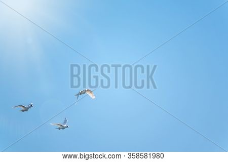 Three White Doves Fly In A Clear Blue Sky. Three White Doves Fly In The Sun. White Doves Are Used As