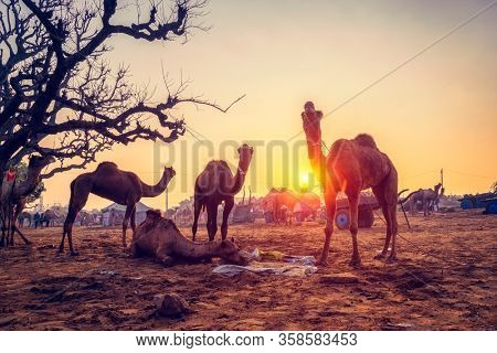 Famous indian camels trade Pushkar mela camel fair festival in field. Camels eating chewing at sunset. Pushkar, Rajasthan, India