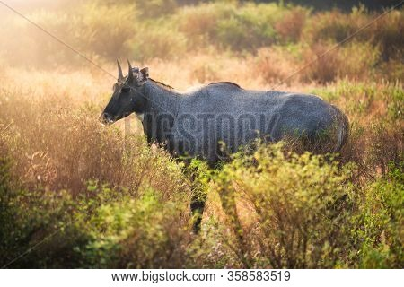 Adult blue bull or nilgai is an asian antelope walking in the forest. Two baby blue bulls graze nearby. Nilgai is endemic to Indian subcontinent. Ranthambore National park, Rajasthan, India