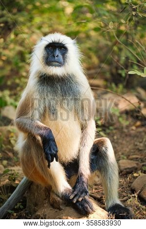 Indian common Gray langur or Hanuman langur monkey ape eating grass and looking around in jungle. Ranthambore national park, Rajasthan, India