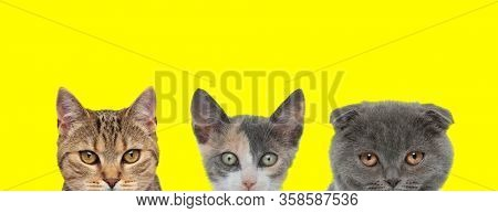 team of 3 cats consisting of two metis cats and one Scottish Fold cat arranged in line are hiding their faces from camera on yellow background
