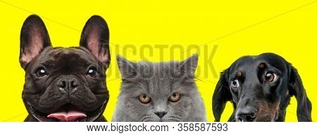excited French Bulldog dog, British Longhair cat and Teckel dog are standing side by side panting and looking aside on yellow background