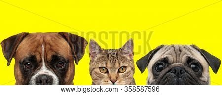 Boxer dog, metis cat and Pug dog are standing side by side and looking at camera on yellow background