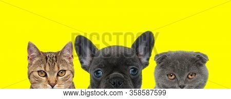 cute couple of three animals consisting of a metis cat, French Bulldog dog and Scottish Fold cat are standing side by side and hiding their faces on yellow background
