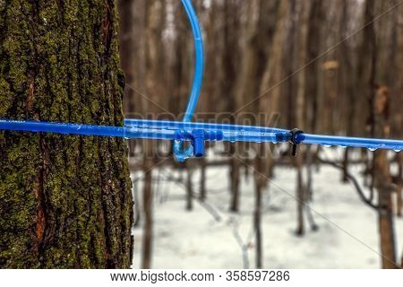Modern Maple Syrup Collection With Blue Tubes In A Forest In Quebec.