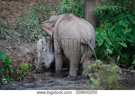Asia Elephant (elephas Maximus) Or Asiatic Elephant, Angle View, Front Shot, Spraying Water And Play