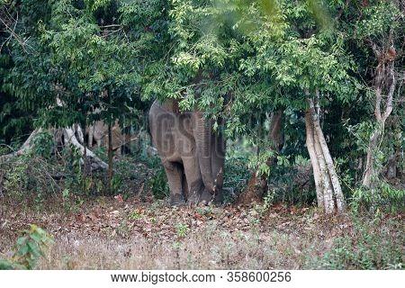 Asia Elephant (elephas Maximus) Or Asiatic Elephant, Angle View, Front Shot, Hiding Look Like A Tree