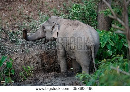 Asia Elephant (elephas Maximus) Or Asiatic Elephant, Angle View, Rear Shot, Foraging Plant And Playi