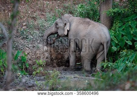 Asia Elephant (elephas Maximus) Or Asiatic Elephant, Angle View, Rear Shot, Playing Happily In Mud S