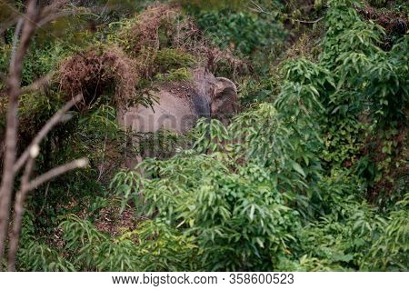 Asia Elephant (elephas Maximus) Or Asiatic Elephant, Angle View, Rear Shot, Foraged Plant Behind The