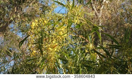Yellow Mimosa Flowers Against Eucalyptus Tree Foliage In Andalusia, Spain