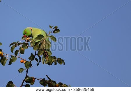 A Green Parrot Eating Ripe Jujube On Jujube Tree Against Blue Sky,gorgeous Colourful Exotic Tropical
