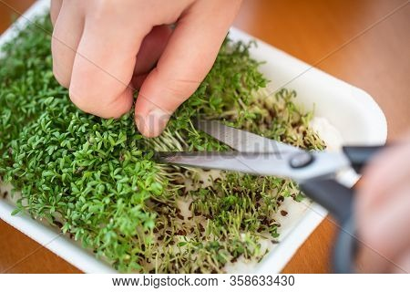Woman Cutting Fresh, Homemade Watercress By Scissors, Organic Ingredient, Food Concept