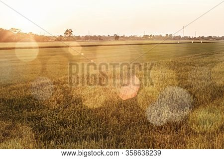 Abstract Bokeh Background Of Golden Rice In Paddy Field.  Golden Ripe Rice Grains In The Sunshine, T