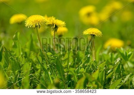 Yellow Dandelion Flowers (taraxacum Officinale). Dandelions Field Background On Spring Sunny Day. Bl