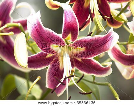 Pink Oriental Stargazer lily shot in natural light. poster