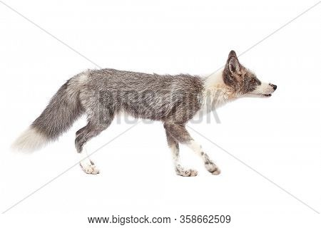 Silver tamed fox isolated on white background