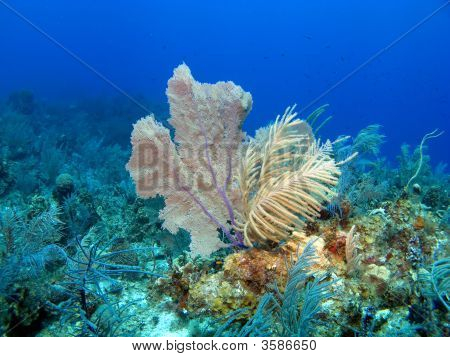 Soft Coral And Sea Fan