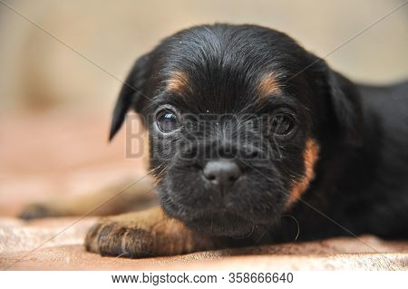 Cute Tiny Puppies Of A Jagdterrier In Male Hands, A Portrait Of A Puppy Of A Jagdterrier