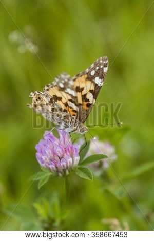 An Orange Butterfly On Wildflower On Soft Green Blurred Background.