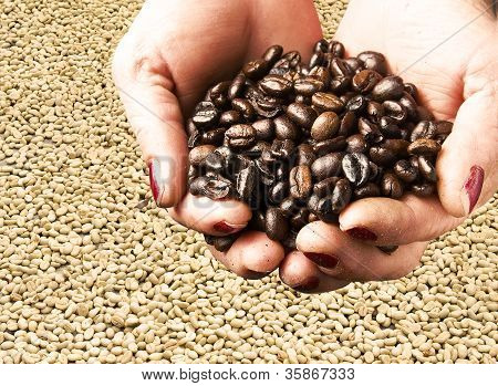 Fresh Coffee Beans on a Laborer Woman Hands poster