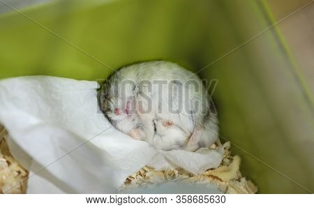 The Adult Male Djungarian Dwarf Hamster Is Sleeping In The Corner Of The Cage. The Funny Pet Rodent