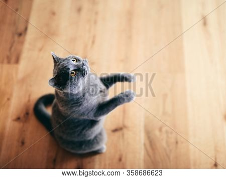 Funny British cat standing as if he was begging, asking. British shorthair breed