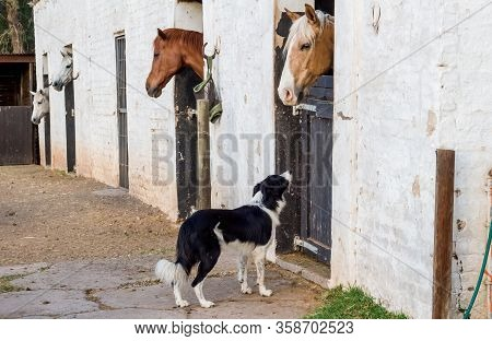 Horses In Stall At White Stables In The Morning With Farm Border Collie Dog Staring