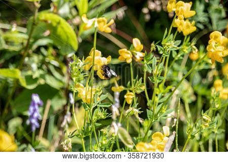 Image Of A Bumblebee On Yellow Flowers In The Austrian Alps. The Focus Is On The Flowers And Bumbleb