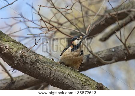 Curious Woodpecker On A Branch
