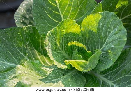 Young Cabbage In The Garden. Cabbage Field, Freshly Growing Cabbage On Field, Fresh Green Cabbage In