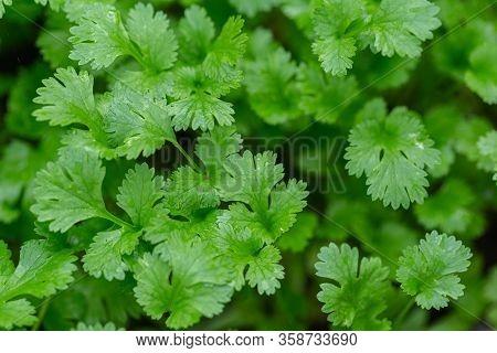 Coriander Vegetables, Coriander Green Leaves, Fresh Green Coriander Leaves Background. Coriander For
