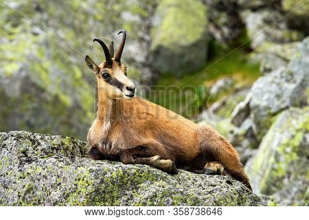 Calm Tatra Chamois Lying Down On A Rock In Summer Mountains