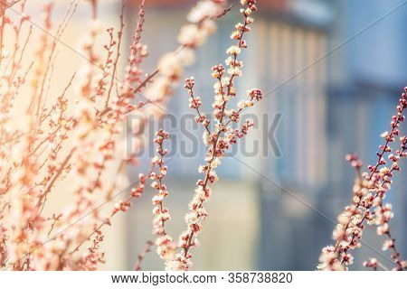 Flowers On The Branches Of An Apricot Tree. Spring Blooms. Sunny Day. Blurred Background. Beautiful