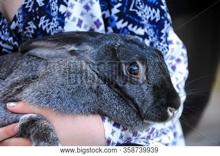 Young Woman Cradles Her Pet, Flemish Giant, Rabbit.  Fur Is Grey And Black. Closeup Shows Eyes And W