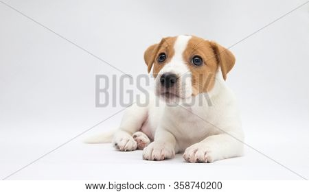 Puppy  Jack russell terrier. Small adorable doggy with funny fur stains.