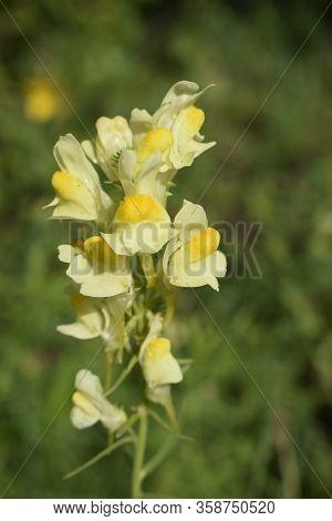 Snapdragon Or Antirrhinum Majus. Colorsplash Of A Yellow Snapdragon (dragon Flowers) Flower In Bloom