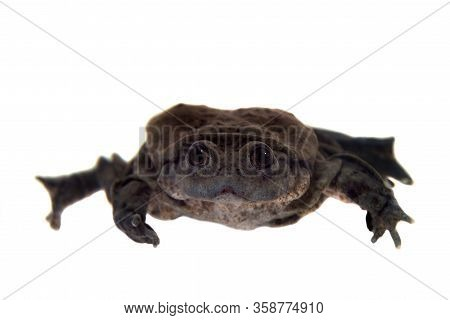 Titicaca Water Frog Isolated On White Background