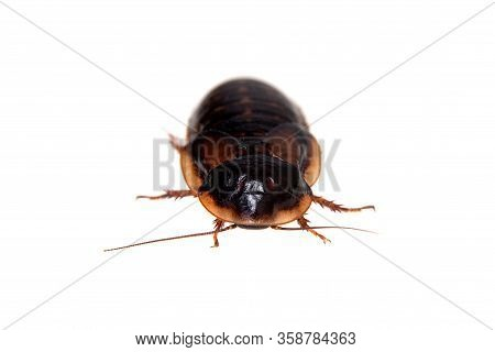 The Dubia Roach Or Argentinian Wood Roach Isolated On White