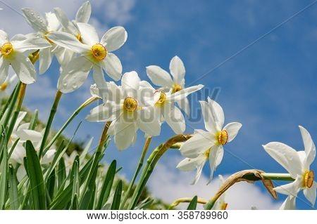 Wild Daffodils Field. Touch Of Spring.transilvania , Romania